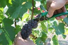 отрежьте ножницы виноградин зрелые стоковые фотографии rf