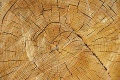 Отрежьте поперечное сечение дерева Стоковая Фотография RF