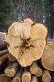 Отрежьте сосну logging Ежегодные кольца на сосне отрезка стоковое изображение
