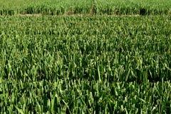 Отрежьте gladiolus. Стоковые Фото