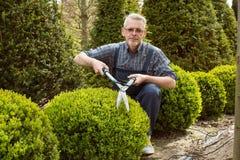 Отрезки садовника декоративный кустарник режет стоковая фотография rf