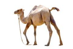 Отрезок верблюда bicornic облыселый на белой предпосылке Стоковое Изображение RF