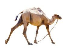 Отрезок верблюда bicornic облыселый на белой предпосылке Стоковая Фотография RF