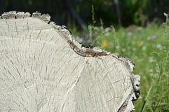 Отрезок дерева березы как предпосылка и текстура Стоковое Изображение