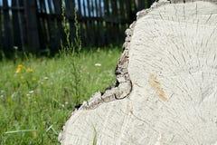 Отрезок дерева березы как предпосылка и текстура Стоковое Изображение RF
