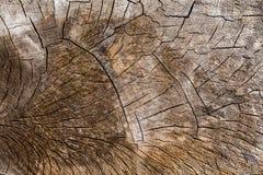 Отрезок старого ствола дерева Стоковые Изображения RF
