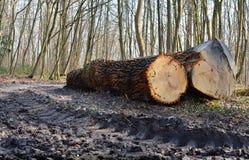 Отрезок хоботов дуба дерева Стоковое Изображение RF