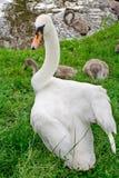 отродь защищают лебедя Стоковая Фотография RF