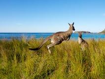 Отскакивать кенгуру на австралийском пляже Стоковое Изображение RF
