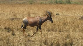 Отслеживать близкий снимок антилопы тропического шлема идя в запас игры mara masai сток-видео