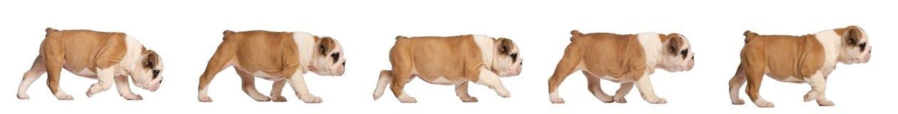 отслеживать щенка 2 месяцев бульдога английских старый Стоковые Фото