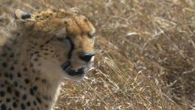 Отслеживающ конец съемки вверх гепарда смотря вокруг в запасе игры mara masai сток-видео
