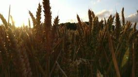 Отслеживающ съемку вдоль голов пшеницы на час захода солнца волшебный - 4K видеоматериал