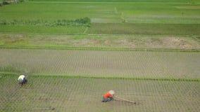 Отснятый видеоматериал вида с воздуха поля и фермеров риса сток-видео