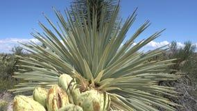 Отснятый видеоматериал движения дерева Иешуа зацветая, пустыня Мохаве, США акции видеоматериалы