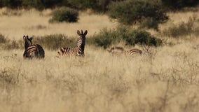 Отснятый видеоматериал зебры в kalahari видеоматериал