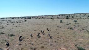 Отснятый видеоматериал трутня следовать одичалой игрой в пустыне kalahari