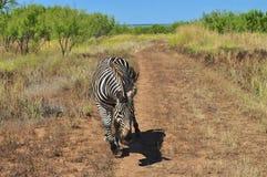 Отставая зебра стоковое изображение