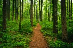 Отстаньте через высокие деревья в сочном лесе, Shenandoah национальном p стоковое фото rf