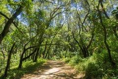 Отстаньте через зелёный лес в Pulgas Ридже OSP Стоковые Изображения RF
