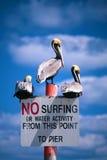 отсутствие пеликанов занимаясь серфингом Стоковая Фотография