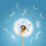 отсутствующее летание одуванчика осеменяет ветер Стоковые Изображения RF