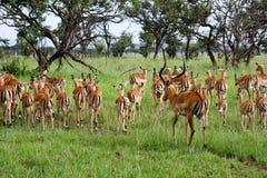отсутствующие женщины табуня его мужчины impala Стоковая Фотография