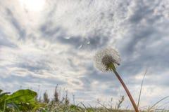 отсутствующие семена летания одуванчика Стоковые Изображения