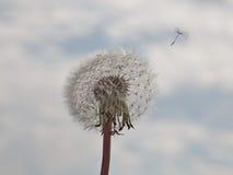 отсутствующие семена летания одуванчика Стоковое фото RF