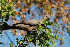 отсутствующие corythaixoides concolor птицы идут серый цвет Стоковая Фотография RF