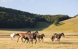 отсутствующий бежать лошадей одичалый Стоковые Фотографии RF