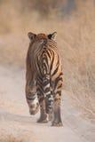 отсутствующий гулять тигра Бенгалии Стоковое Изображение