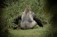 отсутствующий показ гориллы облицовки камеры приклада стоковые фотографии rf
