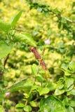 Отлейте в форму на высушенном китайце розовом или sinensis rosa гибискуса Стоковое Фото