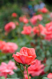Отдельная роза пинка в саде Стоковые Изображения RF