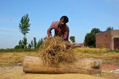Отделять зерна риса Стоковое фото RF