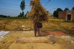Отделять зерна риса Стоковое Изображение