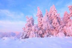 От покрытого снега лужайка там взгляд к славным деревьям покрытым заморозком и снегом Свет - розовые лучи солнца захода солнца Стоковое фото RF
