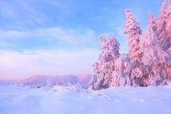 От покрытого снега лужайка там взгляд к славным деревьям покрытым заморозком и снегом Свет - розовые лучи солнца захода солнца Стоковая Фотография RF