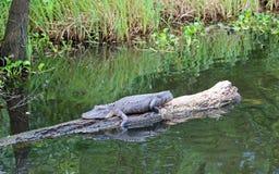 Отдыхать аллигатора Стоковые Фото