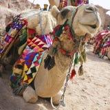 отдыхать верблюда Стоковые Фото