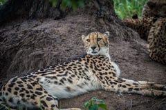 Отдыхать гепарда Стоковое Изображение