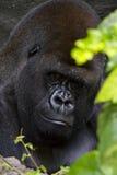 Отдыхать гориллы Стоковые Фото