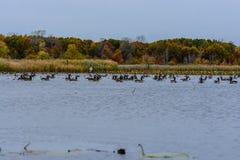 отдыхать гусынь Канады (canadensis чёрной казарки) Стоковые Фото