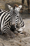 Отдыхать зебры Стоковые Изображения
