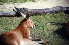 Отдыхать кенгуру Стоковая Фотография RF
