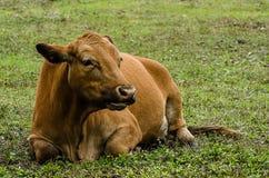 Отдыхать коровы Брайна Стоковое фото RF