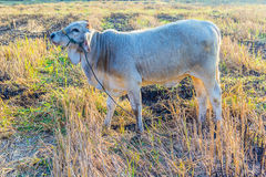 отдыхать коровы Стоковое Фото
