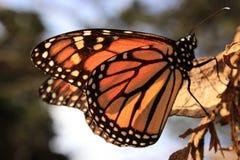 отдыхать монарха листьев бабочки стоковое фото rf