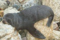 Отдыхать морского котика Новой Зеландии стоковое изображение